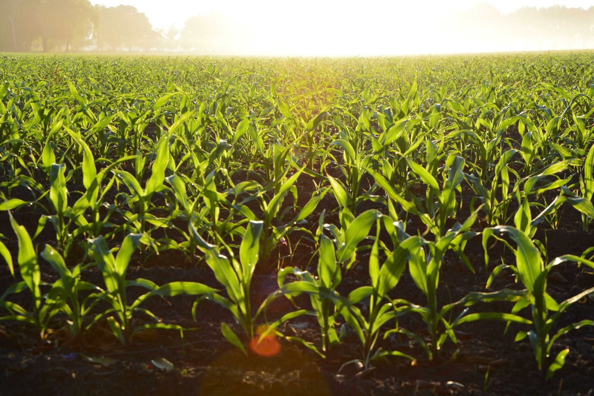 Agriculture corn cropland